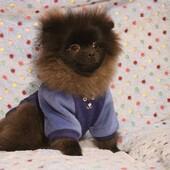 Bellissimo Noir 🐶 con la sua felpina firmata Sparkling Dog 😍 #felpinacane #sweatshirtdog #sparklingdog #spitz #clientesoddisfatta #clientefelice