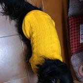Elegantissimo Yoshi col suo nuovo maglioncino giallo. ❤ #dog #cane #pet #clientefelice #clientesoddisfatta