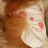 La bellissima Cherì fa la nanna con la nuova maglietta firmata Puppia 🥰#puppia #pomerania #dog #pet #lovepet #clientefelice #clientesoddisfatta