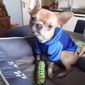 Super figo Cody con la nuova felpina Sparkling Dog❤Noi abbiamo i clienti più belli 🤍😍#felpinacane #sparklingdog #sweatshirtdog #clientefelice #clientesoddisfatta @sparkling__dog #lovepet #chihuahua #abbigliamentocane #venditaonline