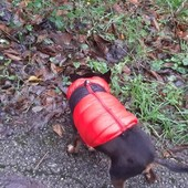 Rocky e' super caldo col giubbottino firmato Puppia 🐶#dog #pet #pinscher #lovedog #cane #giubbottocane #piuminocane #puppia